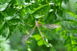 Figure 1. A typical gangly crane fly hanging out. (Photo: Lee Townsend, UK)