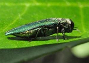 Figure 2. Emerald ash borer. (Lee Townsend, UK)