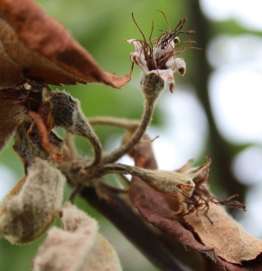 Figure 1: Apple flower clusters infected with fire blight. (Photo: Nicole Ward Gauthier, UK)