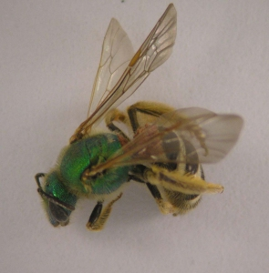 """Figure 1. Ground-nesting bees vary in color and have """"hairy"""" bodies. (Photo: Lee Townsend, UK)"""