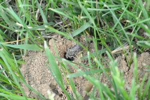 Figure 2. Ground bees can be seen entering and leaving holes in the ground. (Photo: Lee Townsend, UK)