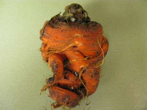 Figure 1. Extreme distortion of carrot infected with root knot nematode (Photo: Julie Beale, UK)