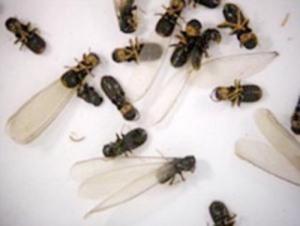 termites fig 1