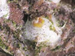 Figure 1. Female white peach scale. (Photo: Lee Townsend, UK)