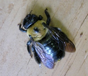 Figure 1. Carpenter bee with shiny abdomen. (Photo: Lee Townsend, UK)