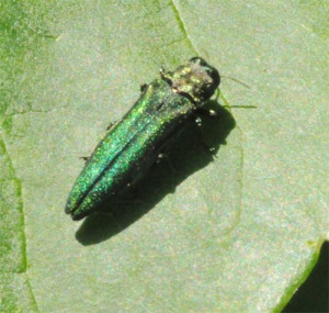 Figure 1. Newly emerged emerald ash borer adults feed on ash leaves for about 2 weeks before laying eggs. (Photo: Lee Townsend, UK)