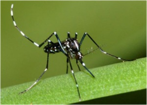 Figure 1. Asian tiger mosquito (Susan Ellis, Bugwood.org)