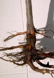 Figure 2: Phytophthora root rot results in root reduction. (Photo: William M. Brown Jr., Bugwood.org