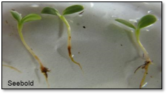 Figure 1: Lettuce seedlings infected with Pythium. Notice poor root systems and darkened stems. (Photo: Kenneth Seebold, UK)