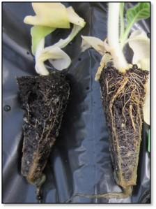 Figure 2: Tobacco transplants infected with Pythium. (Photo: Emily Pfeufer, UK)