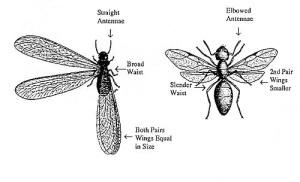 Figure 1. Termite swarmers vs ant swarmers (UK Entfact 604)