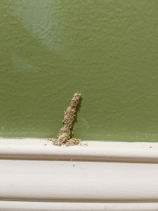 Figure 2. Termite tube arising from a baseboard. (Photo: Lee Townsend, UK)
