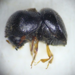 Figure 3. Granulate ambrosia beetle (Photos: Zenaida Viloria, UK).