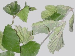Figure 2. Corrugated appearance of birch leaf from aphid feeding. (Photo: Lee Townsend, UK)