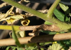 Figure 1: Botrytis gray mold results in tan-to-brown lesions that expand to girdle stems. (Photo: Bruce Watt, University of Maine, Bugwood.org)