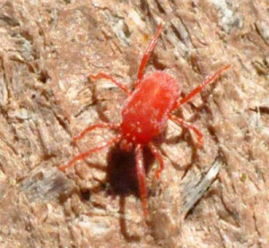 Figure 2. Concrete or sidewalk mite (Photo: Lee Townsend, UK)