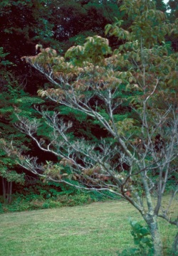 Figure 2: Infected petioles and branches exhibit dieback, typically beginning on lower branches. (Photo: Robert L. Anderson, USDA Forest Service, Bugwood.org)