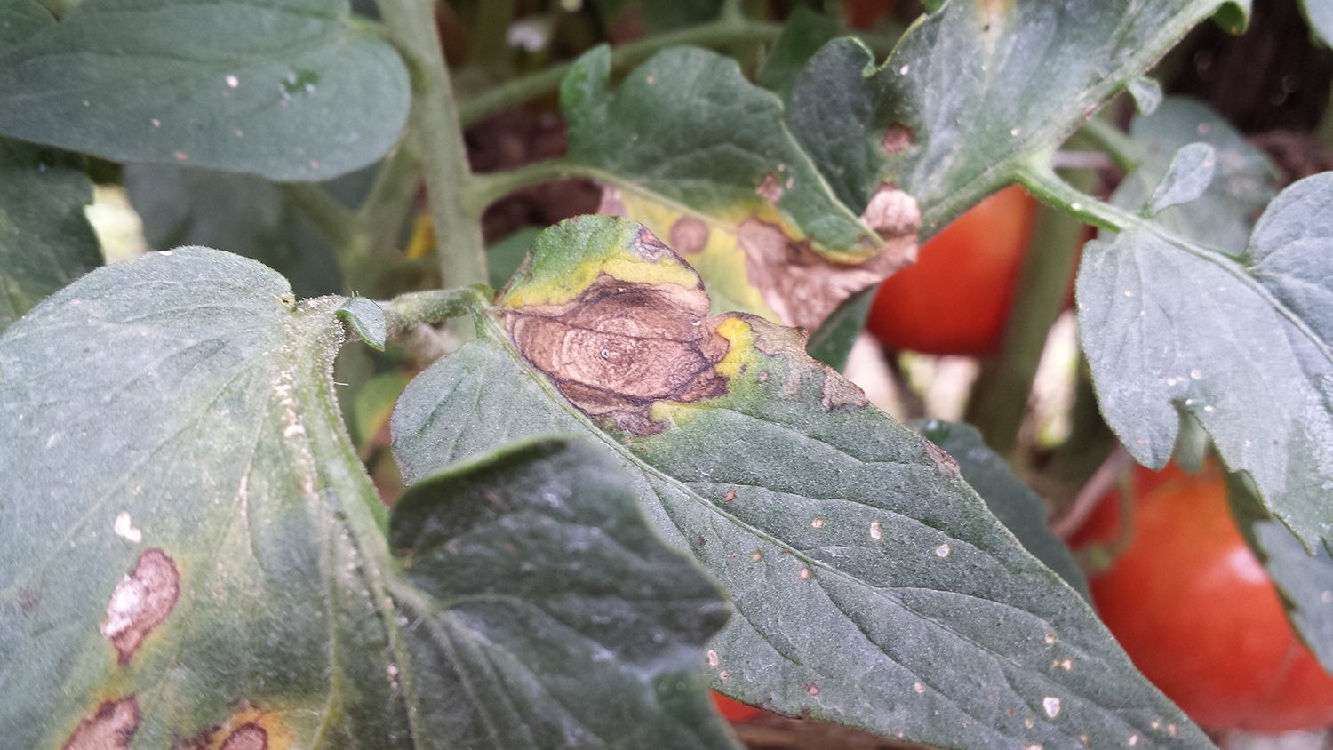 Vegetable Diseases to Scout for: Early Blight & Septoria