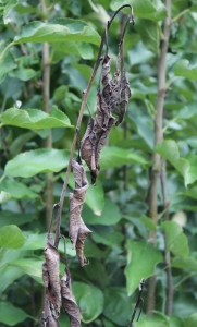 Figure 1: Infection of young shoots cause shepherd's crook symptoms. (Photo: Nicole Ward Gauthier, UK)