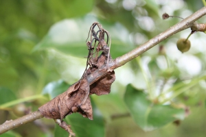 Figure 2: Infection of flower spurs travels down into twigs. Cankers can girdle branches, restricting water uptake to tops of branches. (Photo: Nicole Ward Gauthier, UK)