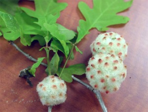 Figure 1. Wool sower gall (Photo: W. Reichert, Shelby County, Kentucky).