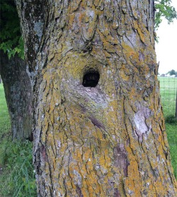 Figure 1. Tree holes are good wintering sites for eggs of some mosquito species (Photo: Lee Townsend,UK).
