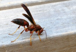 Figure 1. Common paper wasp collecting wood fibers for nest construction from a deck rail. (Photo: Lee Townsend, UK)