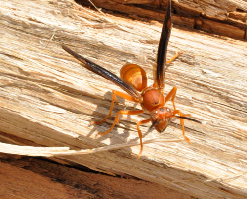 paper wasps watch for eaves of construction kentucky pest news