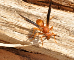 Figure 2. Red paper wasp collecting wood fibers for nest construction from a firewood pile. (Photo: Lee Townsend, UK)