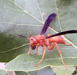 Figure 5. Red wasp with a macerated piece of caterpillar (Photo: Lee Townsend, UK).