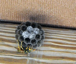 Figure 6. European paper wasp workers will soon emerge from the capped cells in this nest (Photo: Lee Townsend, UK).