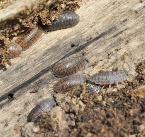 Figure 5. Sowbugs (Photo: Lee Townsend, UK)