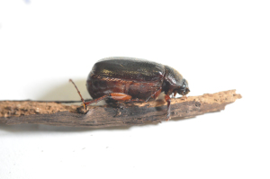Fig 3. May beetle (Photo: Lee Townsend, UK)