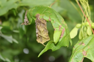 Figure 1: Symptoms of anthracnose on shade trees include dark blotches and leaf distortion. (Photo: Nicole Ward Gauthier, UK)