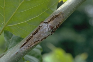 Figure 2: The fungal pathogens that cause anthracnose may also infect twigs and branches. Resulting cankers girdle affected branches. (Photo: John Hartman, UK)