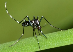 Figure 1. Resting Asian tiger mosquito (Photo: Susan Ellis, http://www.bugwood.org)