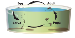 Figure 2. Life cycle of the tiger mosquito from egg to adult.