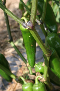 Figure 3: Infected fruit may have raised (pictured) or sunken lesions (Figure 2). (Photo: Emily Pfeufer, UK)