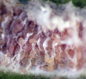 Figure 2. Eggs of cottony camellia scale just before hatching (Photo: Lee Townsend, UK