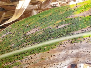 Figure 2. A corn leaf affected by tar spot (note the black, raised fungal structures – known as ascomata). (Photo: Kiersten Wise, Purdue University).