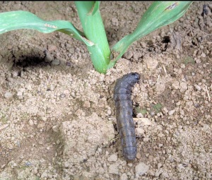 Figure 1. Cutworm at base of corn seedling (Photo: Ric Bessin, UK).