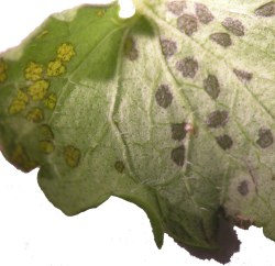 Figure 1. A small dark spot is usually visible in the center of the feeding lesion, which is usually more uniform than a bacterial leaf spot.(Photo: Lee Townsend, UK)