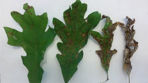 Figure 2. Leaves showing a range of scorch-like symptoms due to varying degrees of gall infestation. (Photo: A. Nielsen, Kentucky Department of Forestry)