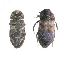 Figure 1. Underside of a larder beetle (left) and top view (right). (Photo: Lee Townsend, UK)