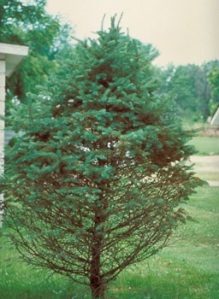 Figure 2: Needle drop and thinning of lower canopy are classic symptoms of Rhizosphaera needle cast in spruce. (Photo: Minnesota Department of Natural Resources Archive, Minnesota Department of Natural Resources, Bugwood.org)