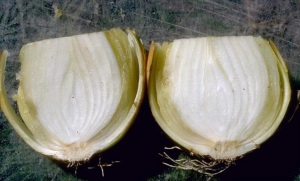 Figure 2: Once the disease reaches the bulb, scales may become discolored and rot (Photo: Howard F. Schwartz, Colorado State University, Bugwood.org)