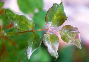 Figure 1. Powdery mildew on rose foliage (John Hartman, UK)