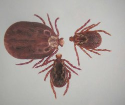 Figure 2. Engorged female American dog tick (left) and unfed male and female (Photo: Lee Townsend, UK)