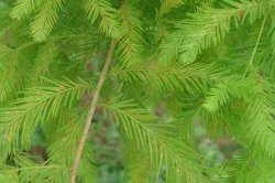 Figure 6. Landscape bald cypress affected by rust mites in early summer (Photo: Zenaida Viloria, UK)