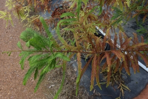 Figure 7. Bald cypress's recovery after two months of spring rust mite attack and chemical control. (Photo: Win Dunwell, UK).